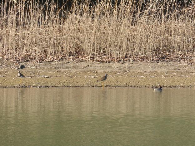 池沿いにいたケリとコガモ