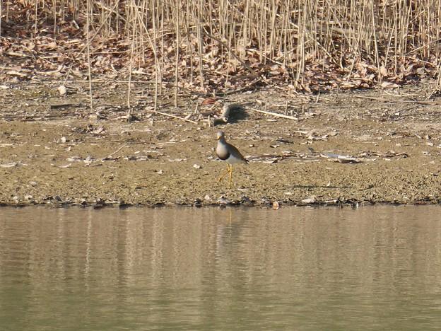 池沿いにいたケリ