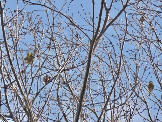 木の上にいるカワラヒワ? - 1