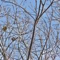 Photos: 木の上にいるカワラヒワ? - 1