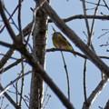 Photos: 木の上にいるカワラヒワ? - 2