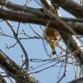Photos: 木の上にいるカワラヒワ? - 4