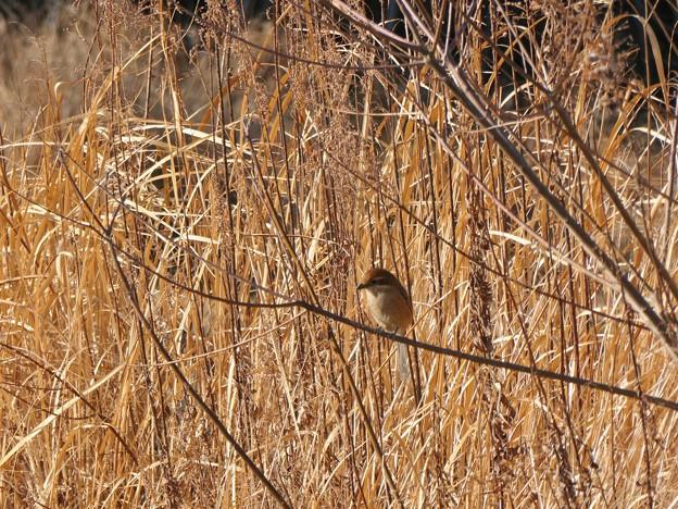 草にとまるモズのメス - 6