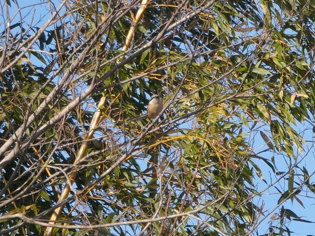 木にとまるモズのオス - 1
