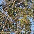 Photos: 木にとまるモズのオス - 1