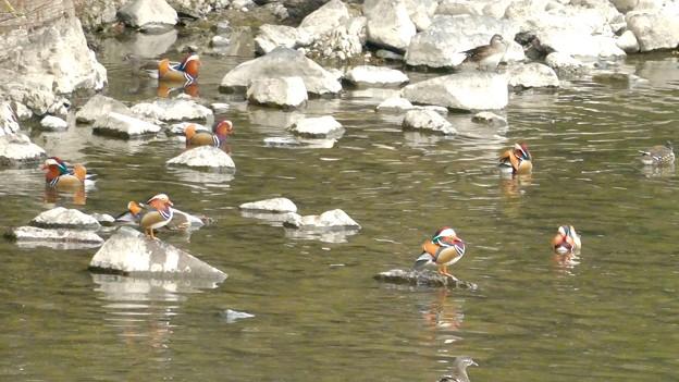 庄内川沿いにいたオシドリの群れ - 3