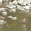 Photos: 庄内川沿いにいたオシドリの群れ - 3