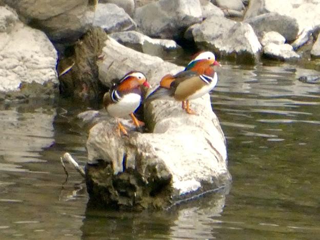 庄内川沿いにいたオシドリの群れ - 7
