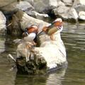 Photos: 庄内川沿いにいたオシドリの群れ - 7