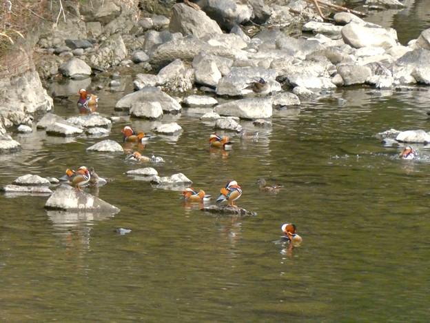 庄内川沿いにいたオシドリの群れ - 8