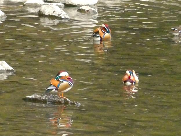 庄内川沿いにいたオシドリの群れ - 4