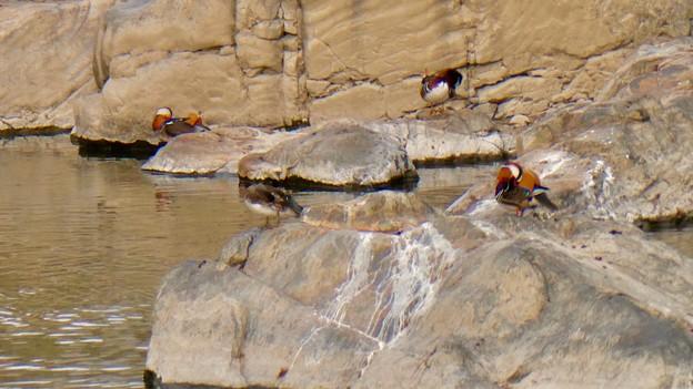 庄内川沿いにいたオシドリの群れ - 15