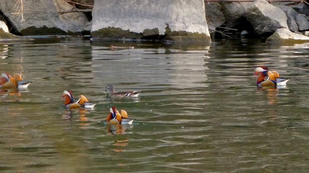 庄内川沿いにいたオシドリの群れ - 17