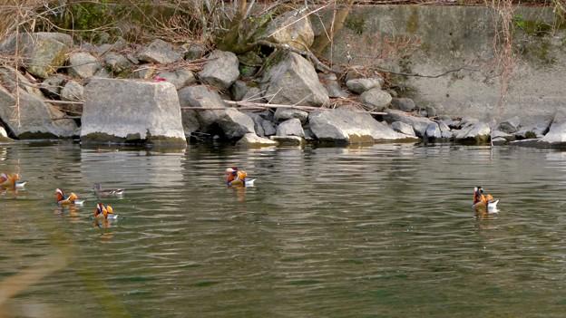 庄内川沿いにいたオシドリの群れ - 16
