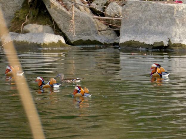 庄内川沿いにいたオシドリの群れ - 18