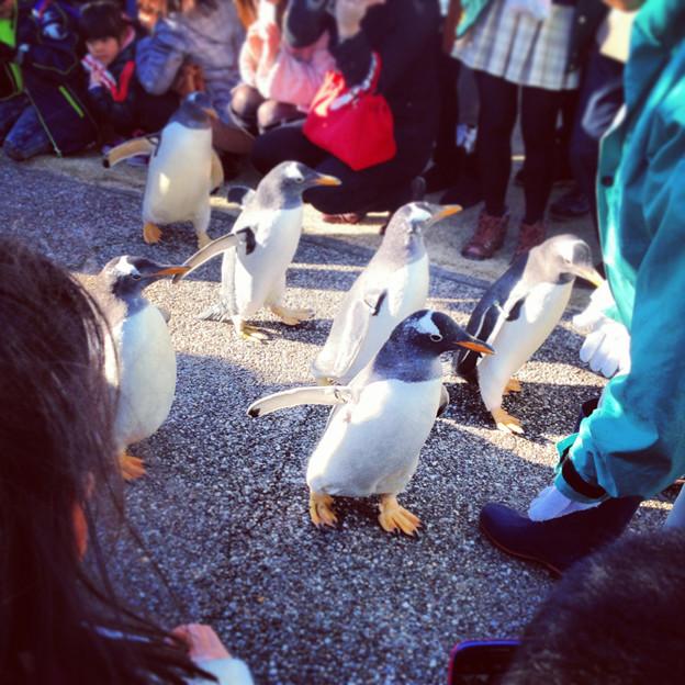 名古屋港水族館ペンギンよちよちウォーク 2013年12月 No - 25