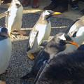 Photos: 名古屋港水族館ペンギンよちよちウォーク 2013年12月 No - 26