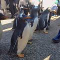 Photos: 名古屋港水族館ペンギンよちよちウォーク 2013年12月 No - 27