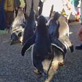 Photos: 名古屋港水族館ペンギンよちよちウォーク 2013年12月 No - 30