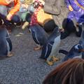 Photos: 名古屋港水族館ペンギンよちよちウォーク 2013年12月 No - 33