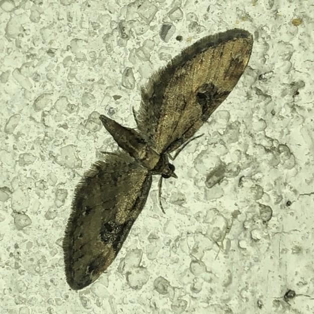 羽を全開に広げた状態で壁にとまっていた我 - 4