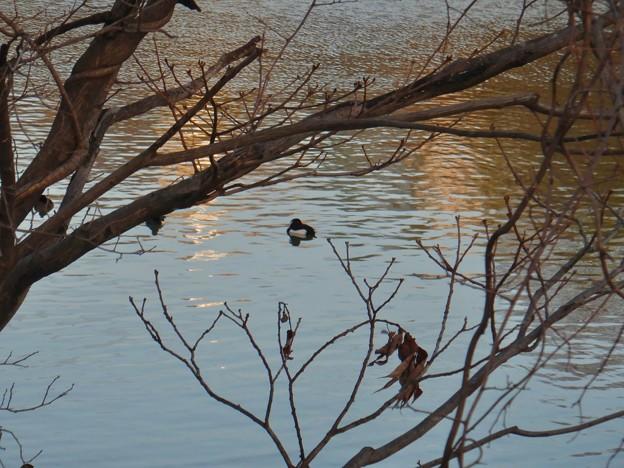 池いたキンクロハジロ - 1