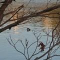 Photos: 池いたキンクロハジロ - 1