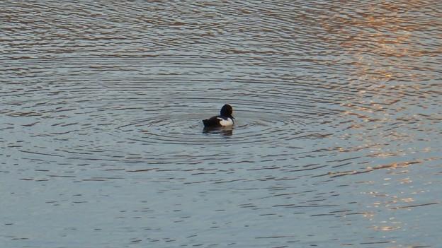 池いたキンクロハジロ - 2