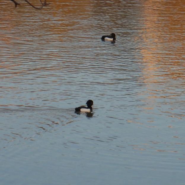 池いたキンクロハジロ - 4