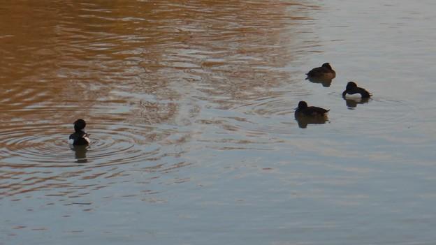池いたキンクロハジロ - 5