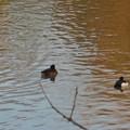 池いたキンクロハジロ - 3