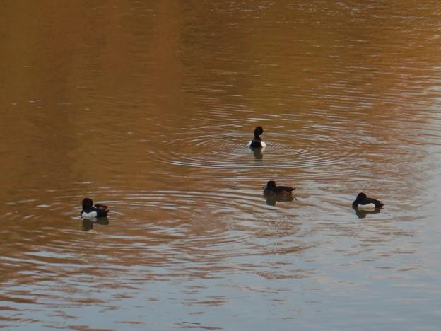 池いたキンクロハジロ - 9
