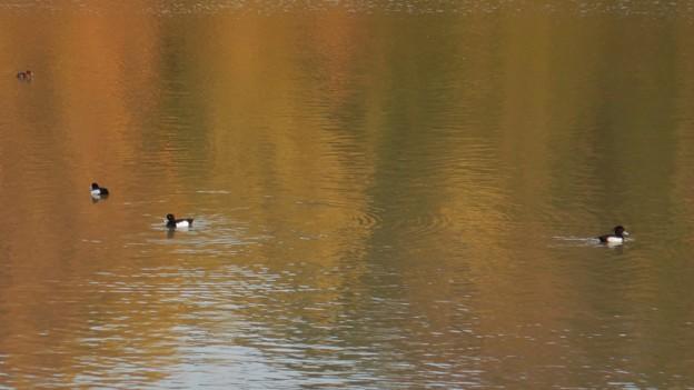 池いたキンクロハジロ - 11