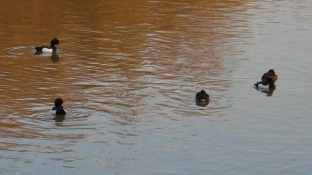 池いたキンクロハジロ - 6
