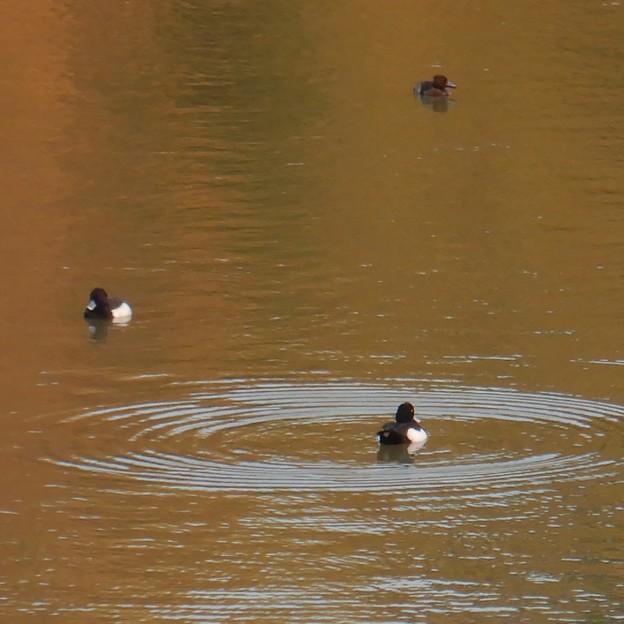 池いたキンクロハジロ - 13