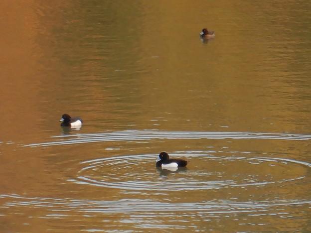 池いたキンクロハジロ - 14