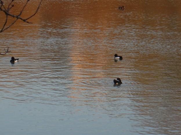 池いたキンクロハジロ - 10