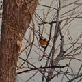 池沿いの木にいたジョウビタキ - 1