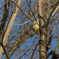 逆さ向きに木の枝にぶら下がるメジロ - 3
