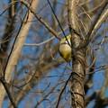 逆さ向きに木の枝にぶら下がるメジロ - 1