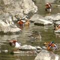 Photos: 庄内川沿いにいたオシドリの群れ(アップロードし直し) - 4