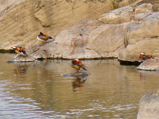 庄内川沿いにいたオシドリの群れ(アップロードし直し) - 5