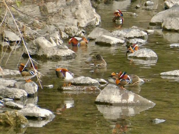 庄内川沿いにいたオシドリの群れ(アップロードし直し) - 3