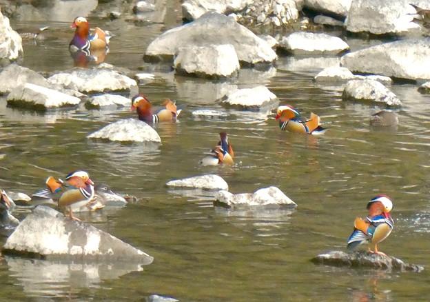 庄内川沿いにいたオシドリの群れ(アップロードし直し) - 2