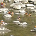 Photos: 庄内川沿いにいたオシドリの群れ(アップロードし直し) - 2