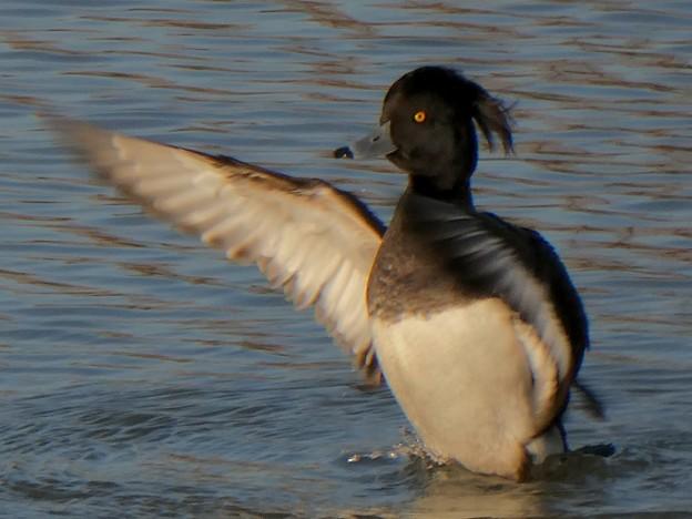 池の上で羽ばたくキンクロハジロ - 1