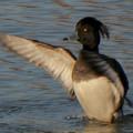 Photos: 池の上で羽ばたくキンクロハジロ - 1