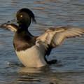 池の上で羽ばたくキンクロハジロ - 2