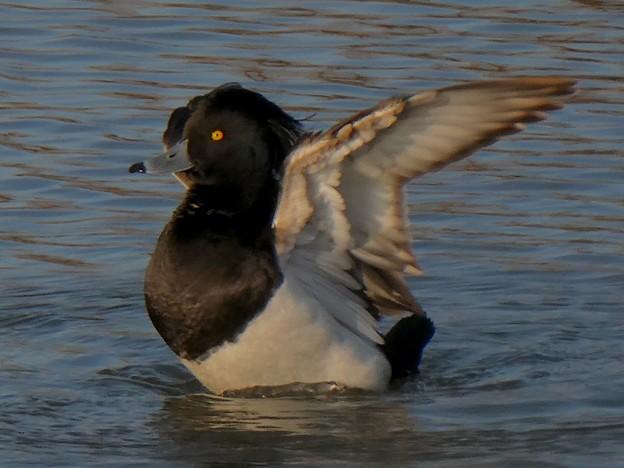 池の上で羽ばたくキンクロハジロ - 3