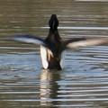 池の上で羽ばたくキンクロハジロ - 4